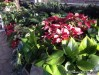 Christmas flowers in the Jewel Box