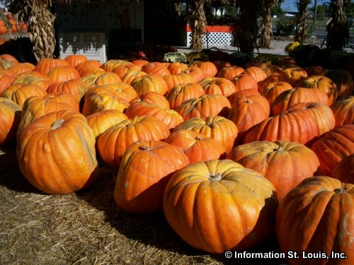 Pumpkins at Rombach Farms