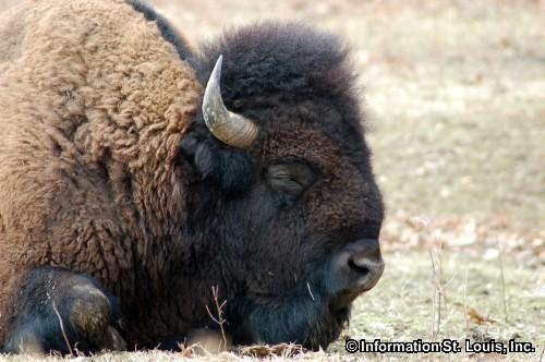 Lone Elk Park Bison